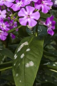 mildew, flowers,