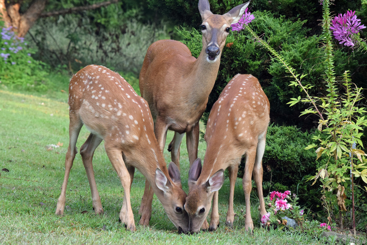 deer in your garden
